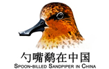 Spoon-billed Sandpiper in China