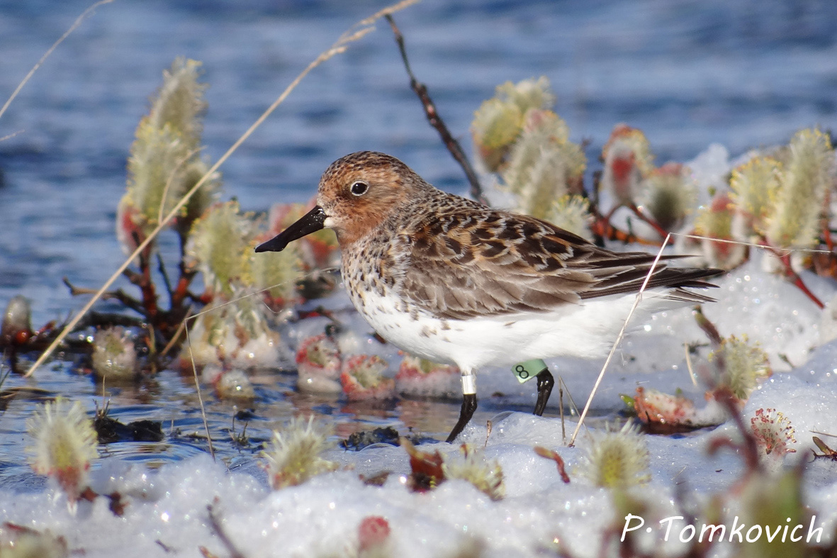 Spoon-billed Sandpiper Task Force: News Bulletin No.13, February 2015
